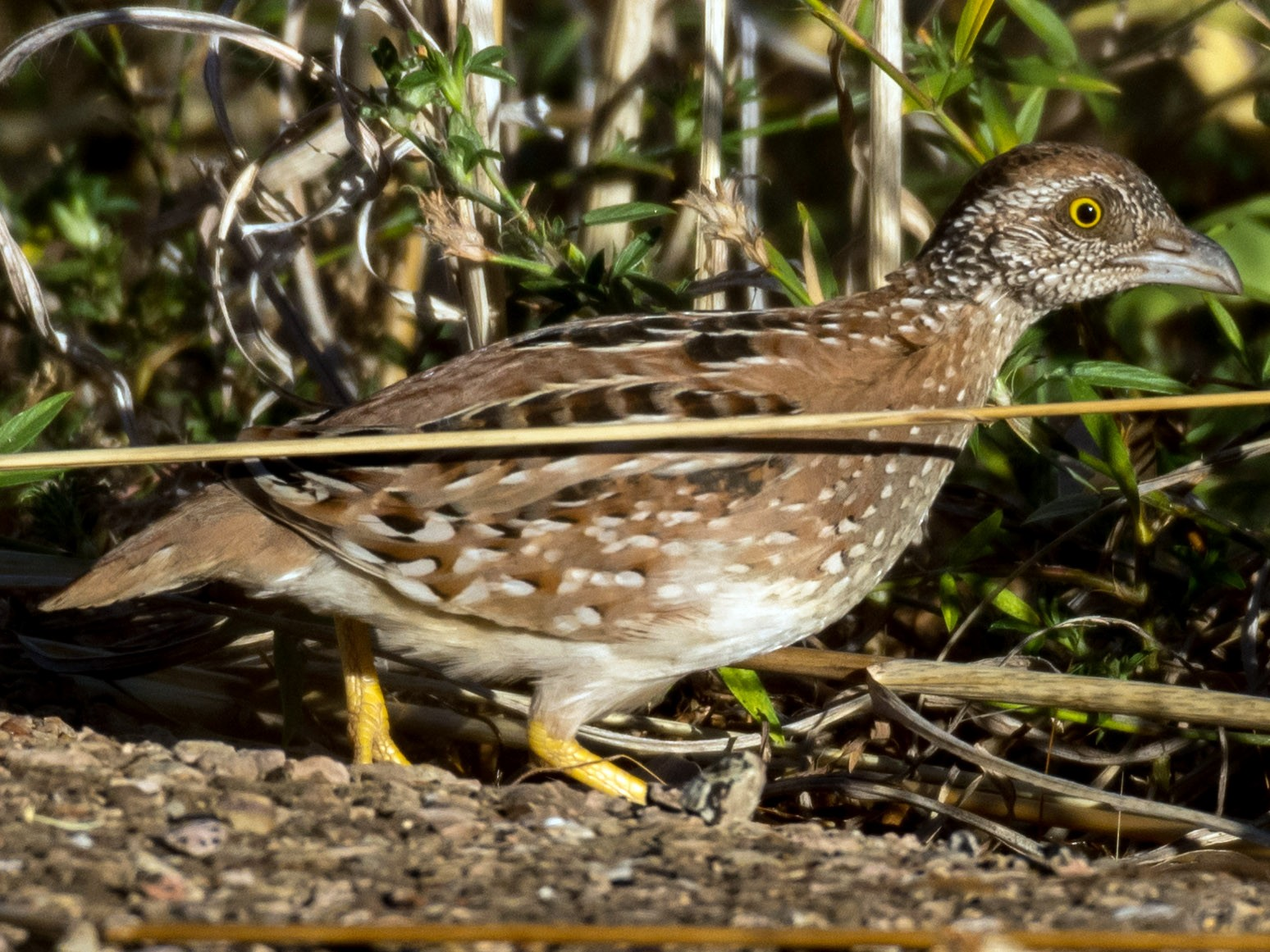 Chestnut-backed Buttonquail - Raphaël Nussbaumer