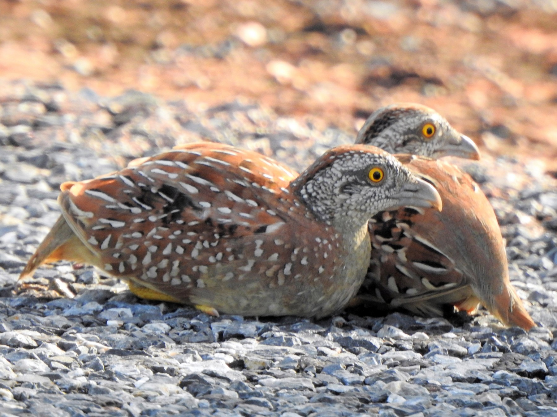 Chestnut-backed Buttonquail - Hilary Thompson