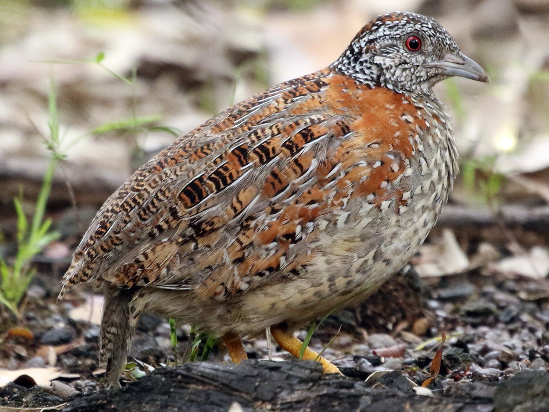 Painted Buttonquail - David Ongley