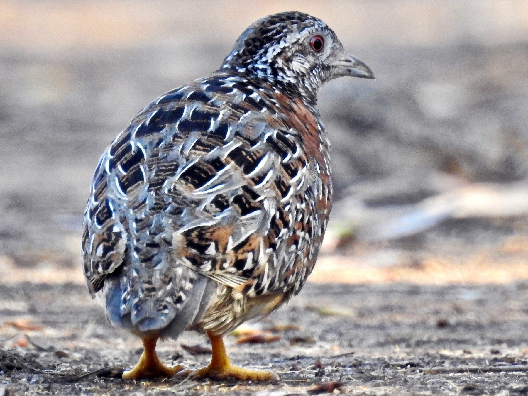 Painted Buttonquail - Michael Daley