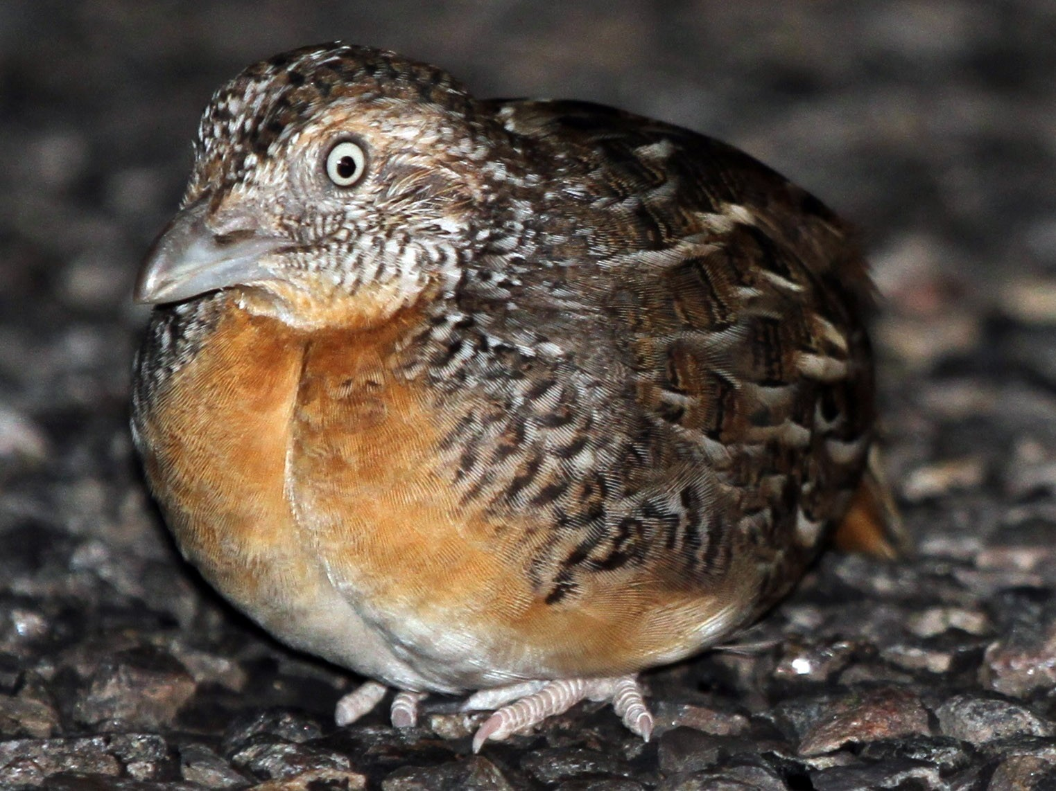 Red-chested Buttonquail - James (Jim) Holmes