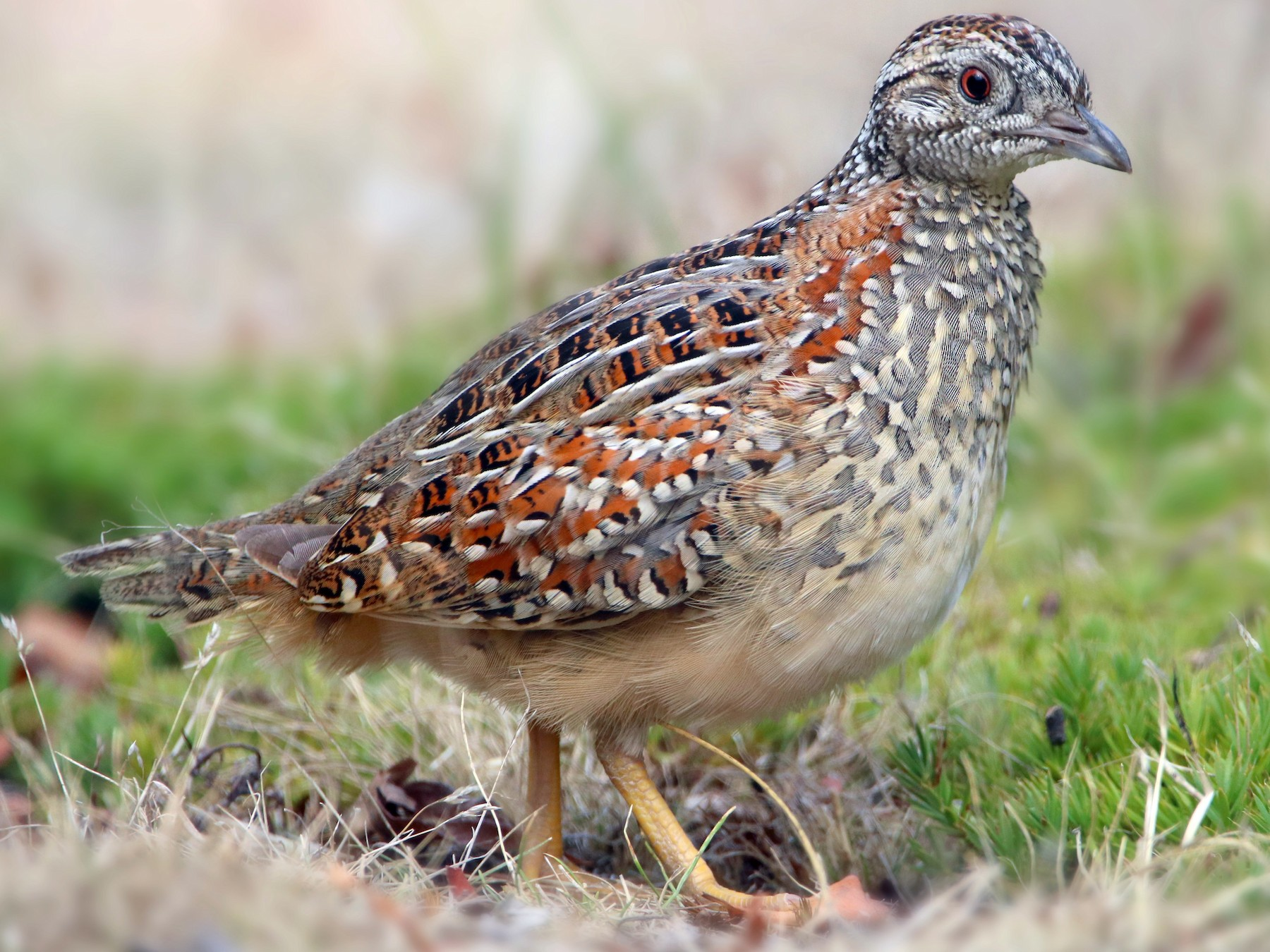 Painted Buttonquail - Indra Bone