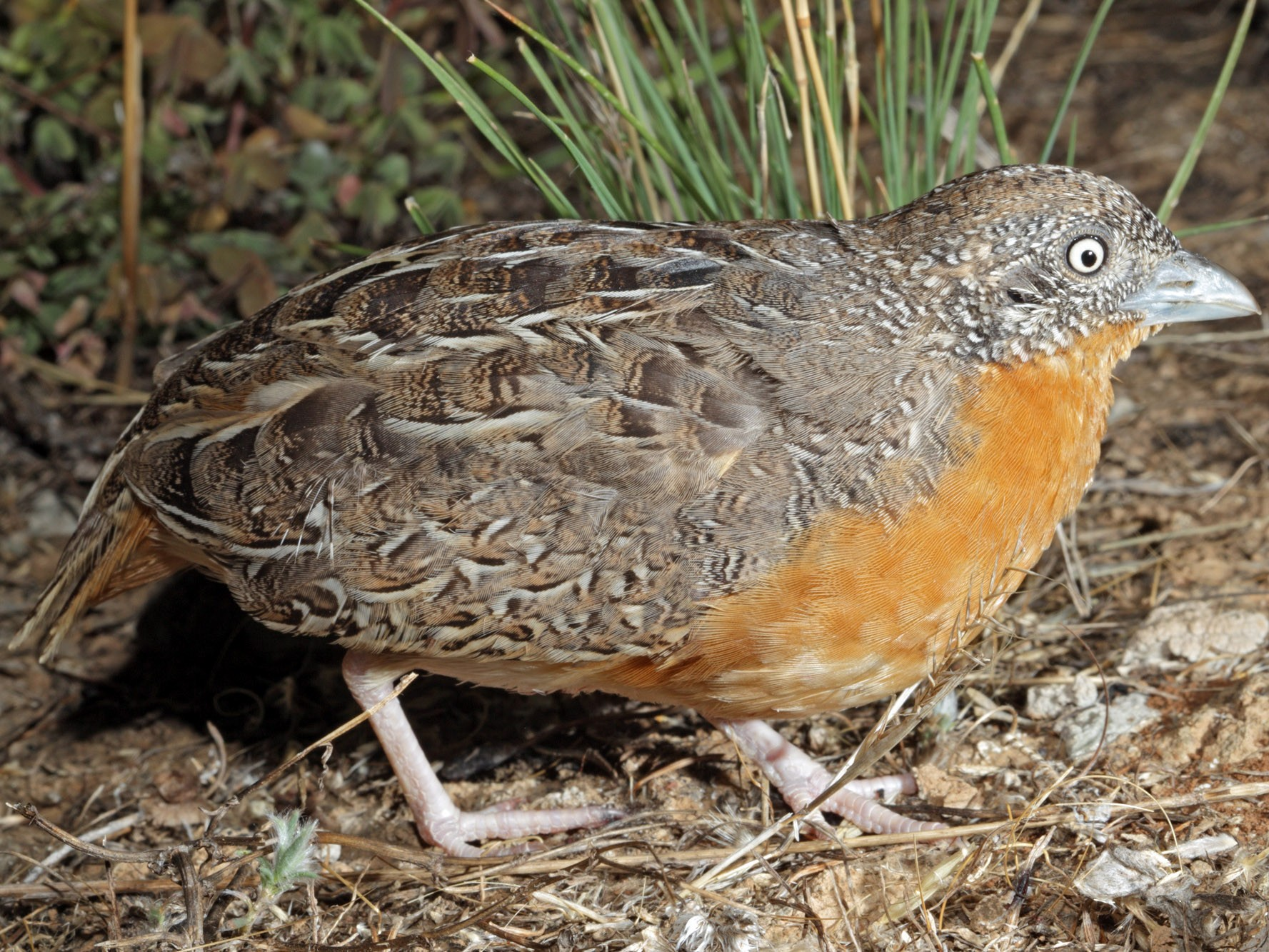 Red-chested Buttonquail - Rohan Clarke