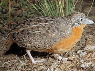 - Red-chested Buttonquail