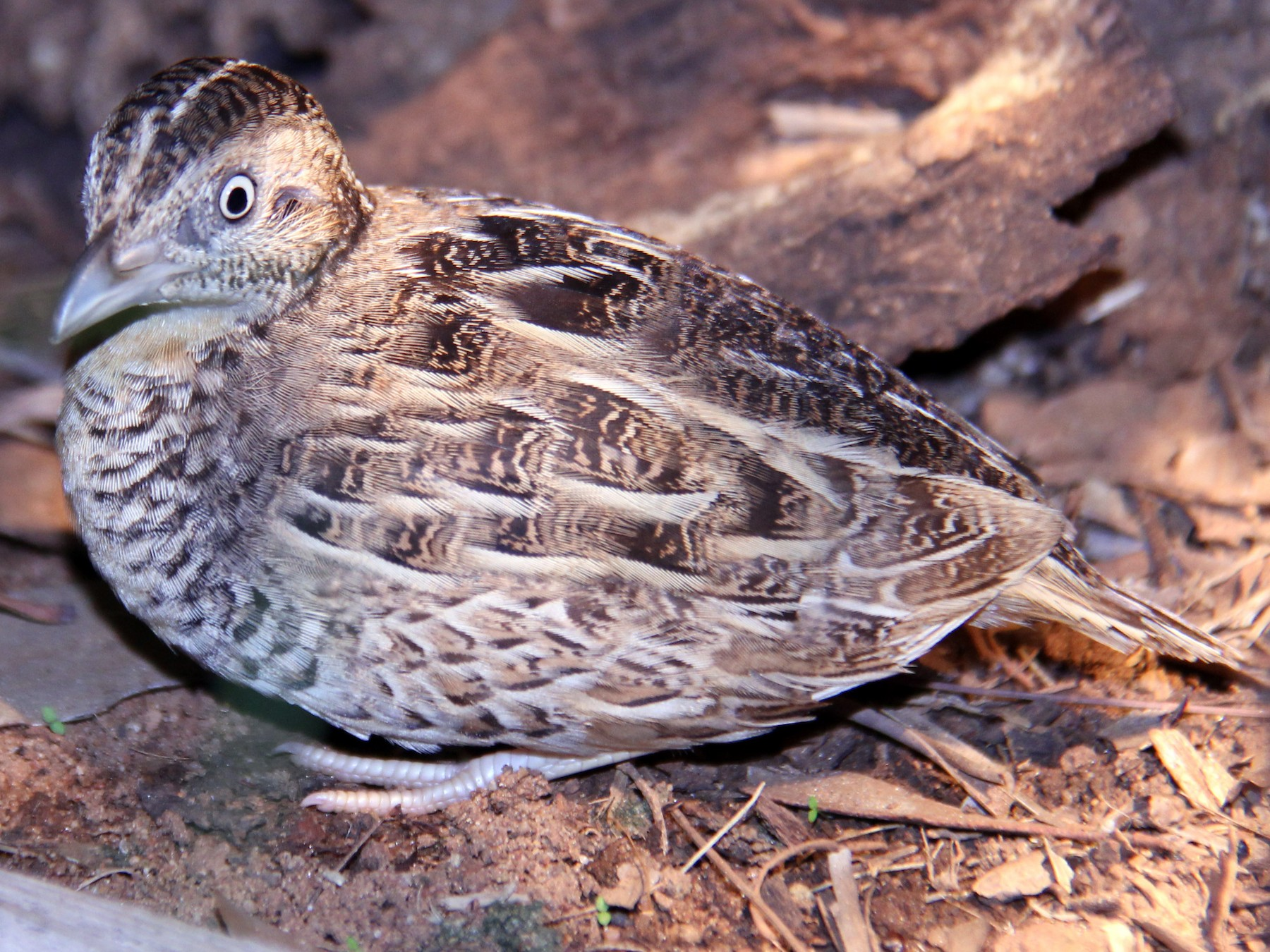 Red-chested Buttonquail - Marc Gardner