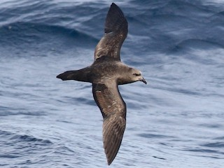 - Great-winged Petrel