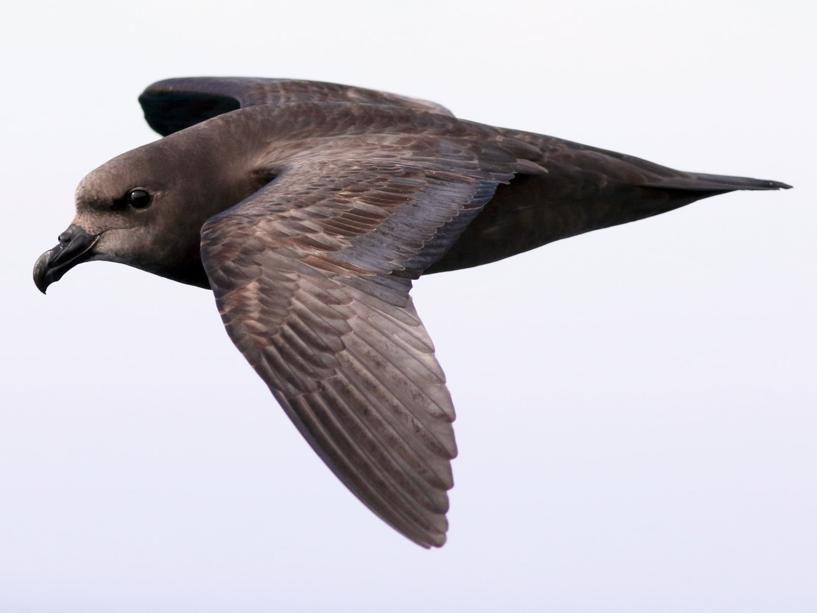 Great-winged Petrel - Leigh Pieterse