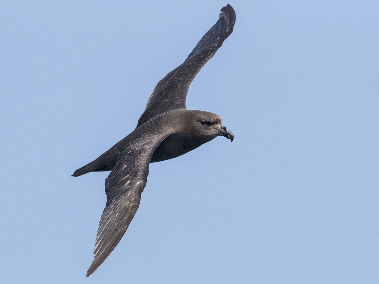 Great-winged Petrel - Niall D Perrins