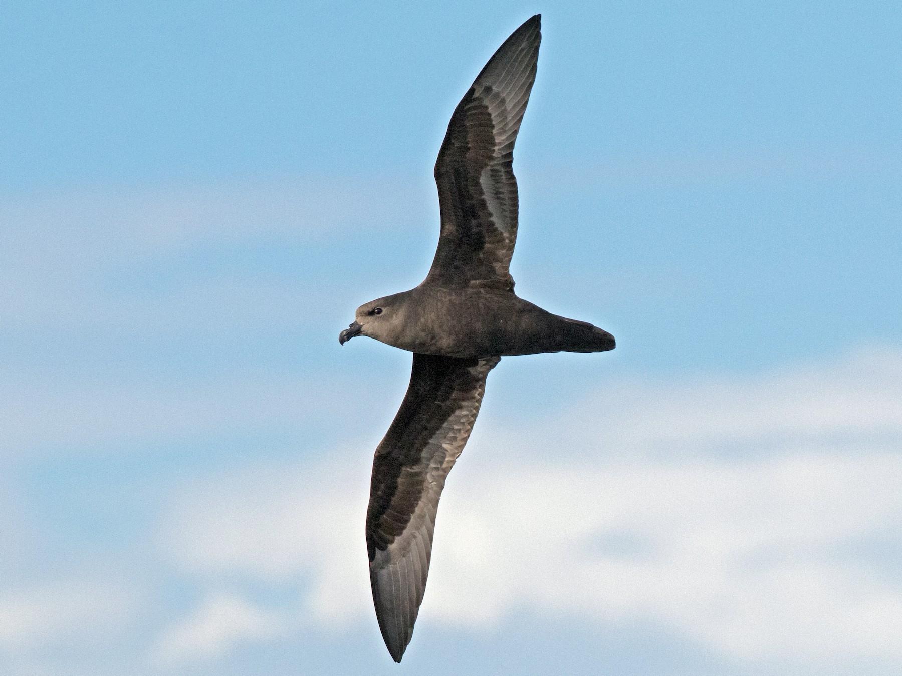 Great-winged Petrel - Damian Kelly