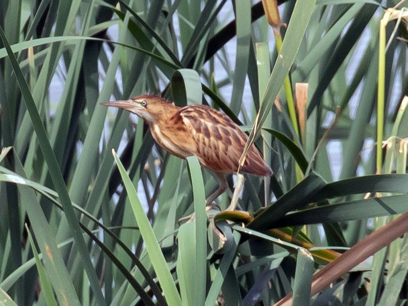 Black-backed Bittern - shorty w