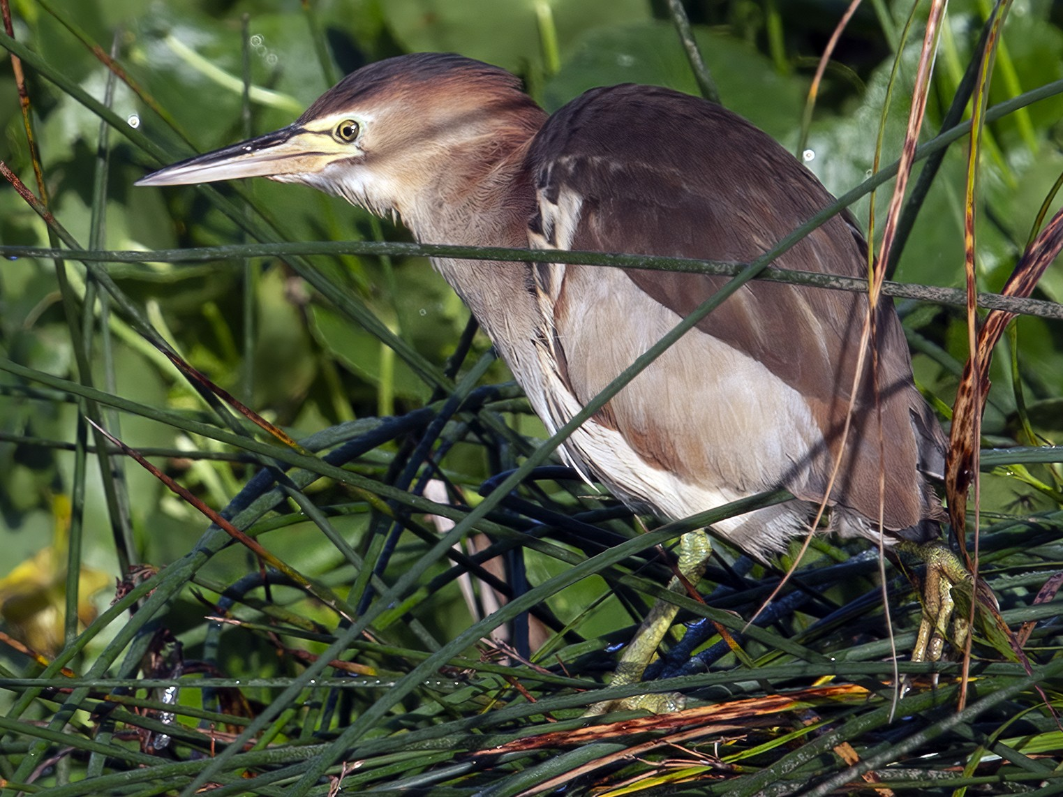 Black-backed Bittern - JJ Harrison
