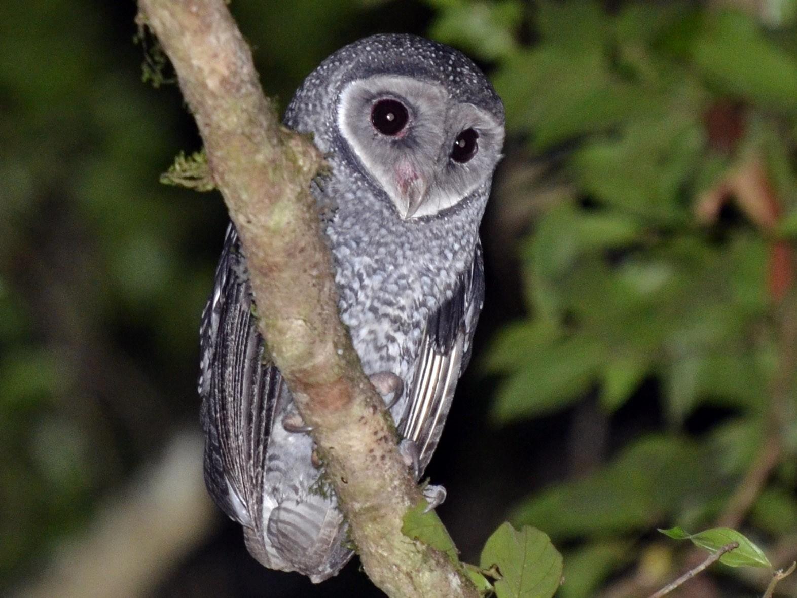 Sooty Owl - Bruce Wedderburn