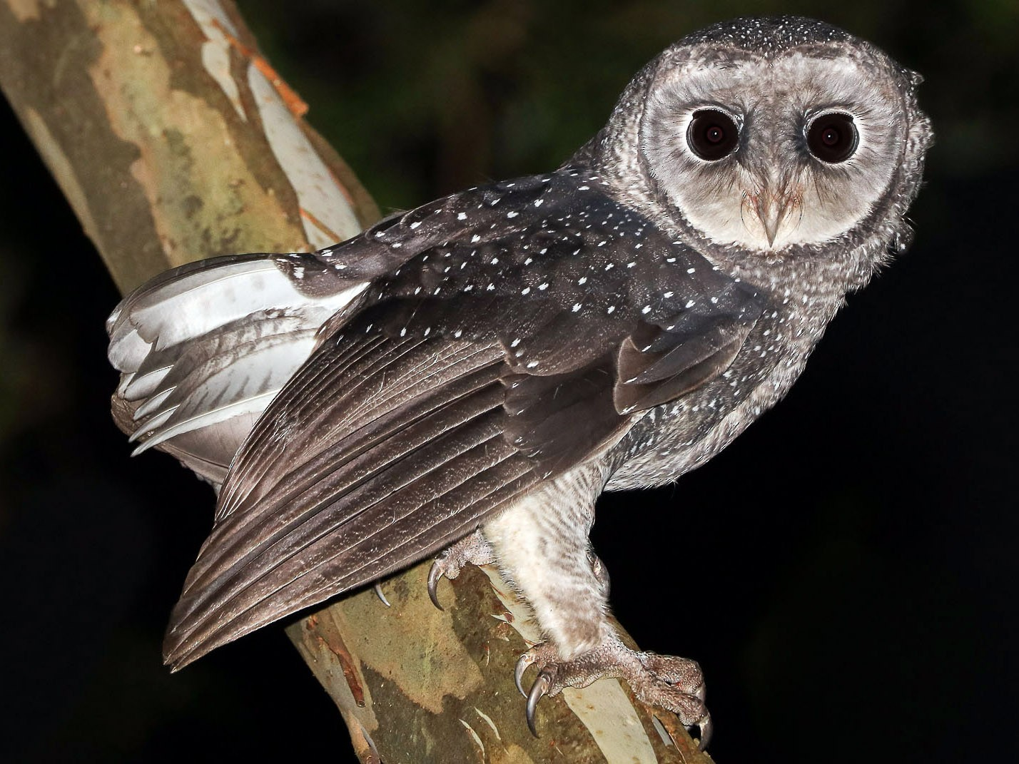 Sooty Owl - Ged Tranter