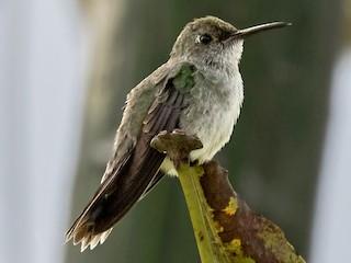- Olive-spotted Hummingbird