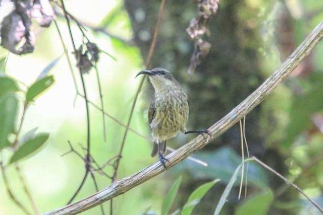 Humblot's Sunbird