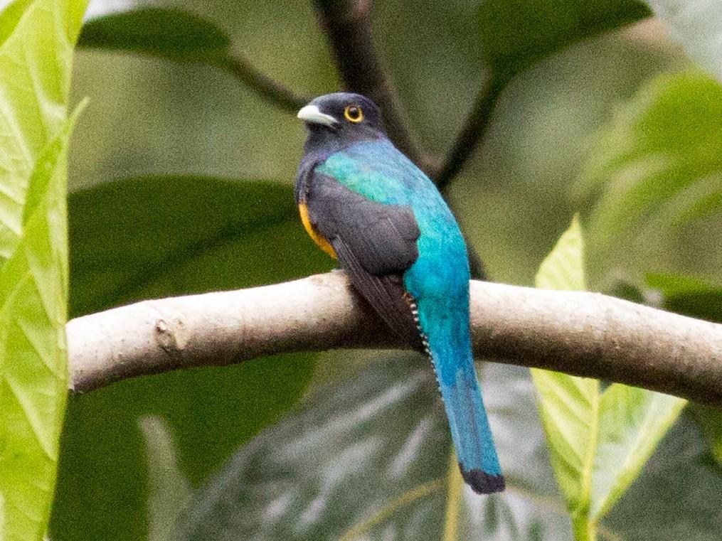 Amazonian Trogon - Paul Fenwick