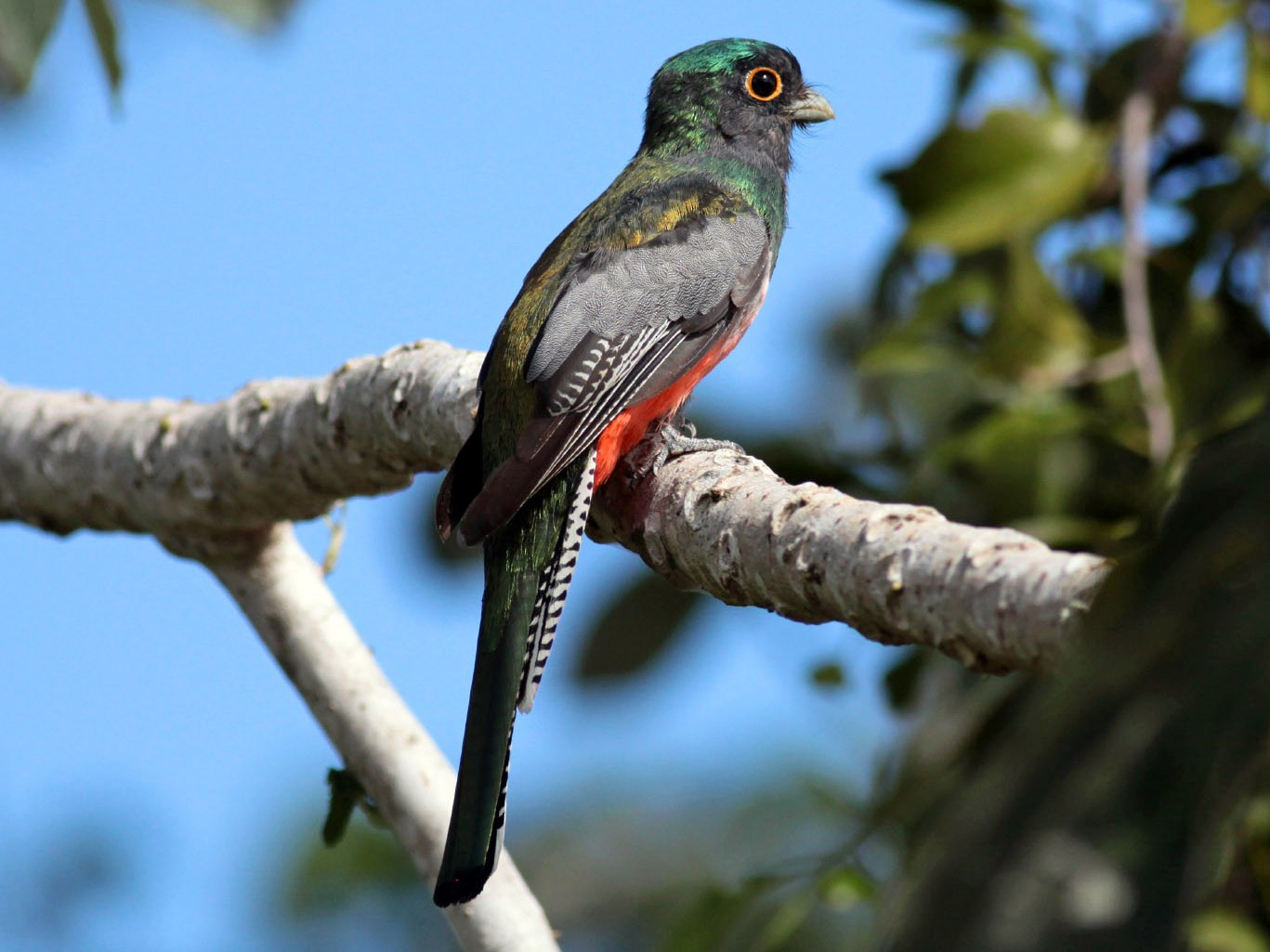 Blue-crowned Trogon - Michael Todd