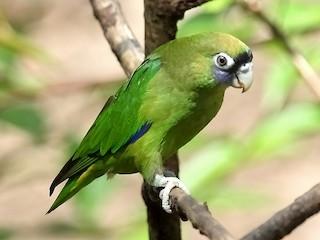 - Scarlet-shouldered Parrotlet