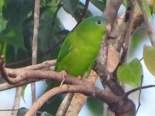 - Amazonian Parrotlet