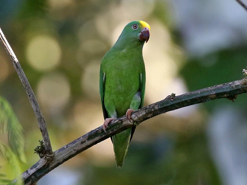 Tui Parakeet - Charley Hesse TROPICAL BIRDING