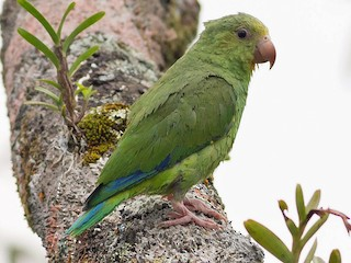 - Cobalt-winged Parakeet