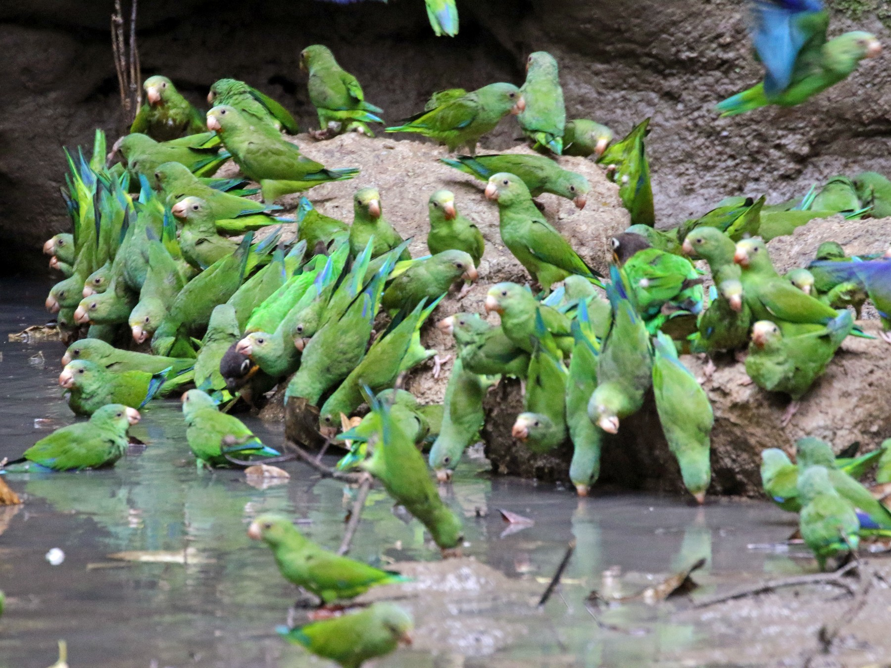 Cobalt-winged Parakeet - Kathleen Keef