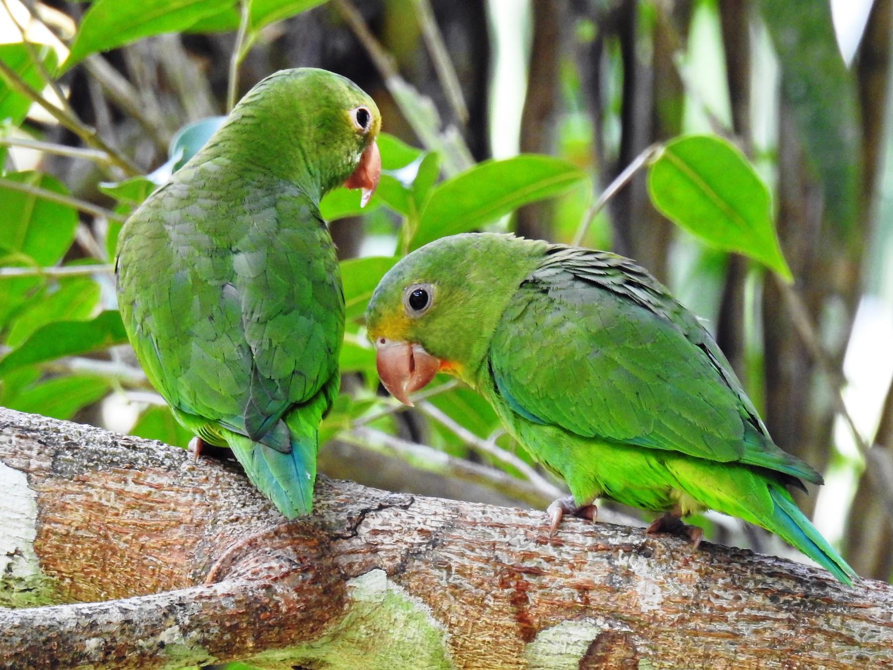 Cobalt-winged Parakeet - Jon Iratzagorria Garay