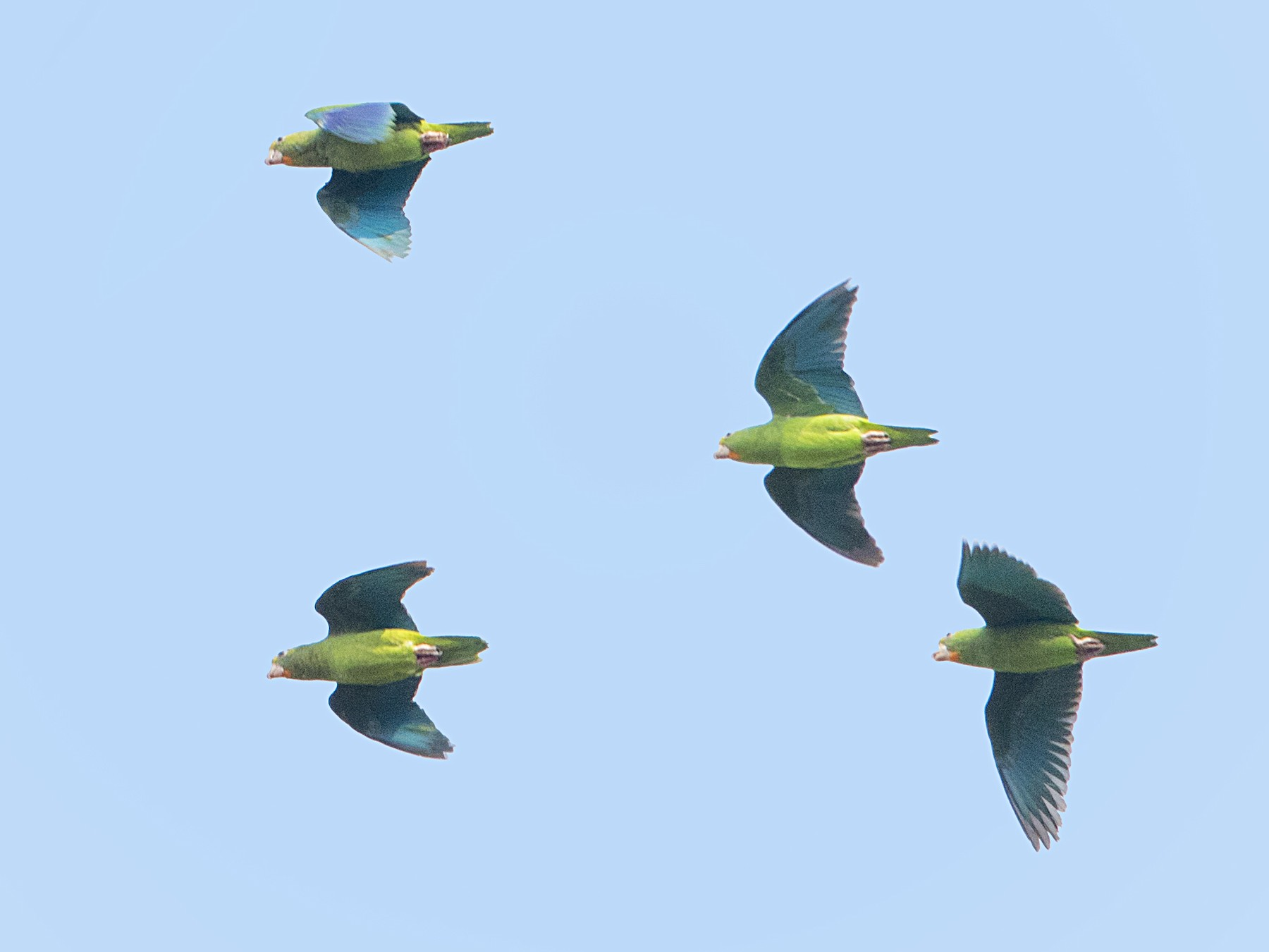 Cobalt-winged Parakeet - Bradley Hacker 🦜