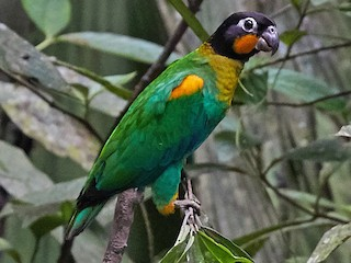 - Orange-cheeked Parrot