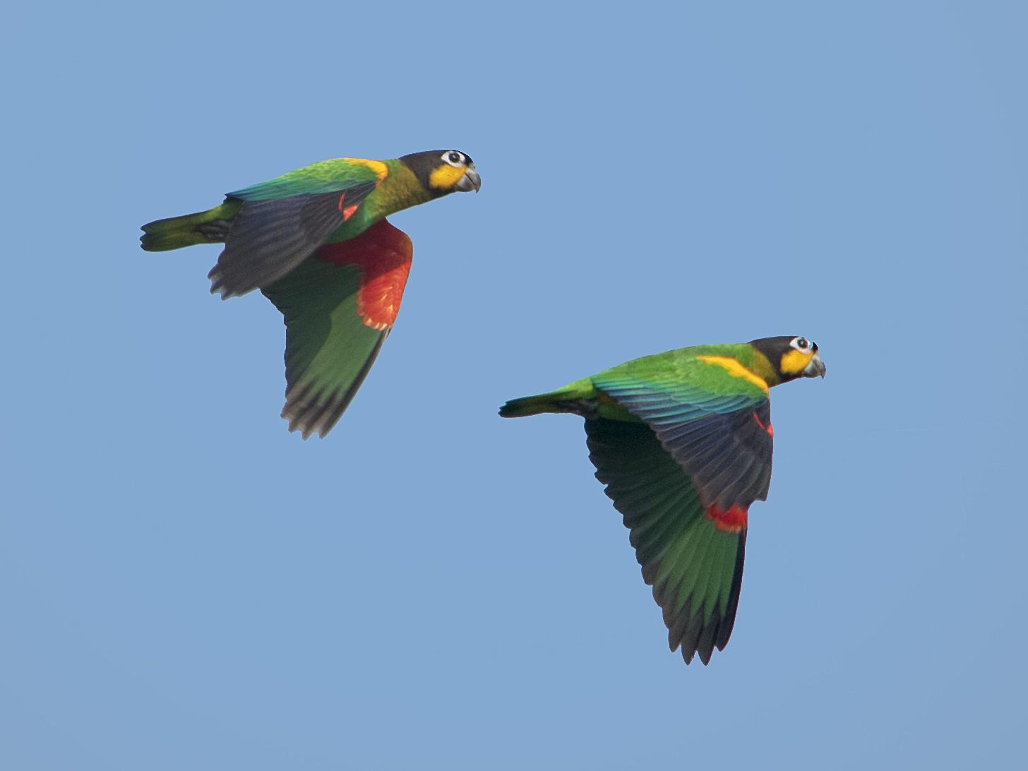 Orange-cheeked Parrot - Bradley Hacker