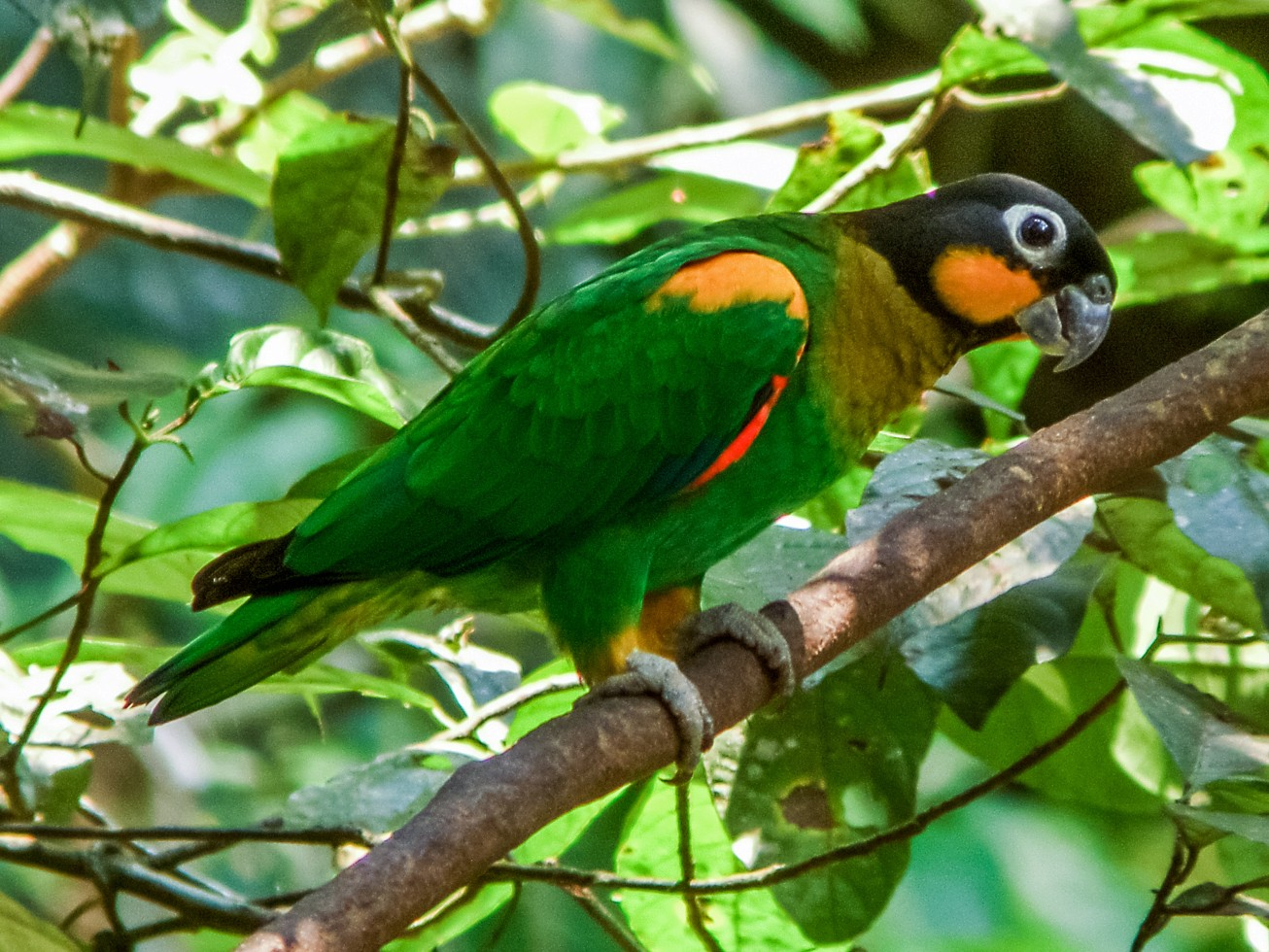Orange-cheeked Parrot - Nick Athanas