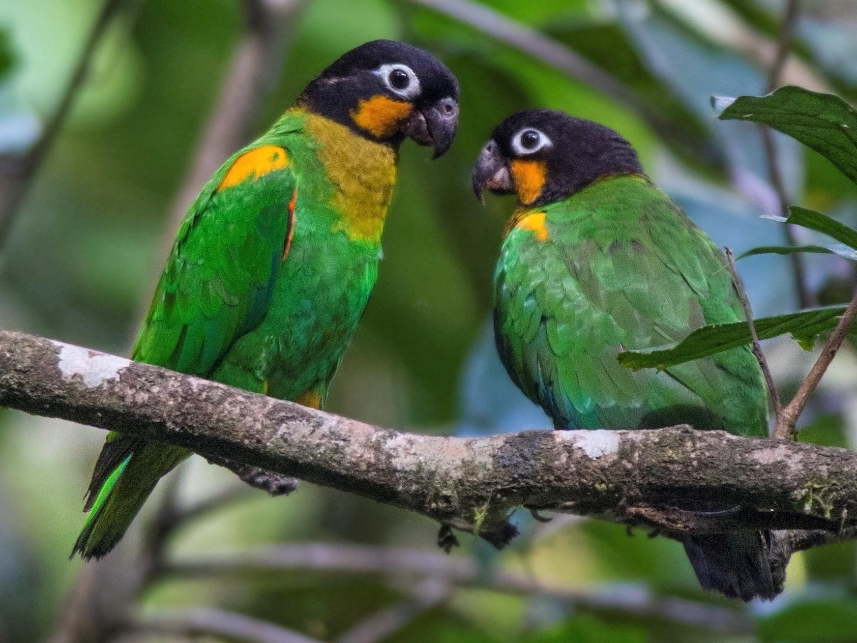 Orange-cheeked Parrot - Jeff Maw