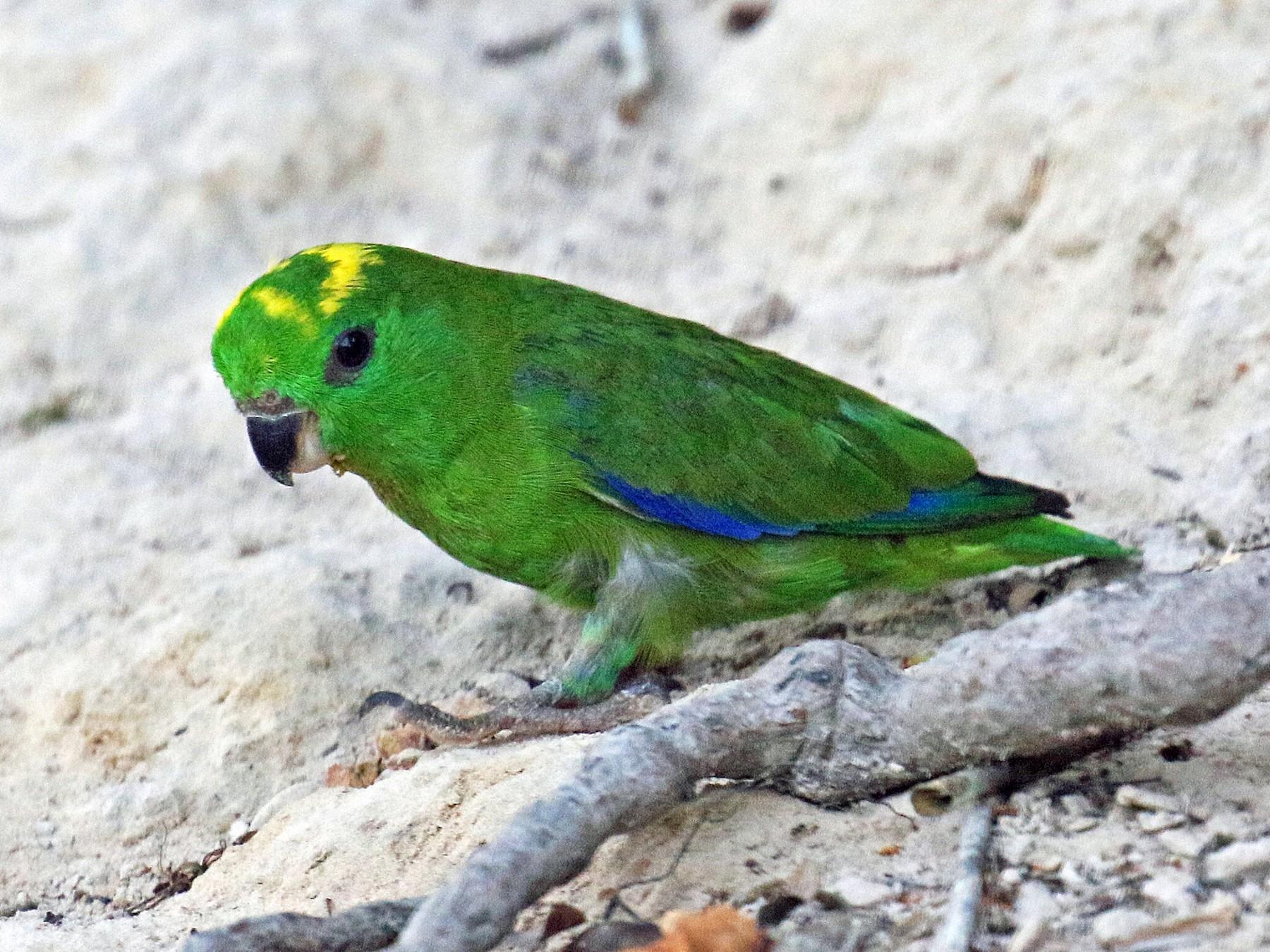 Dusky-billed Parrotlet - David Lang