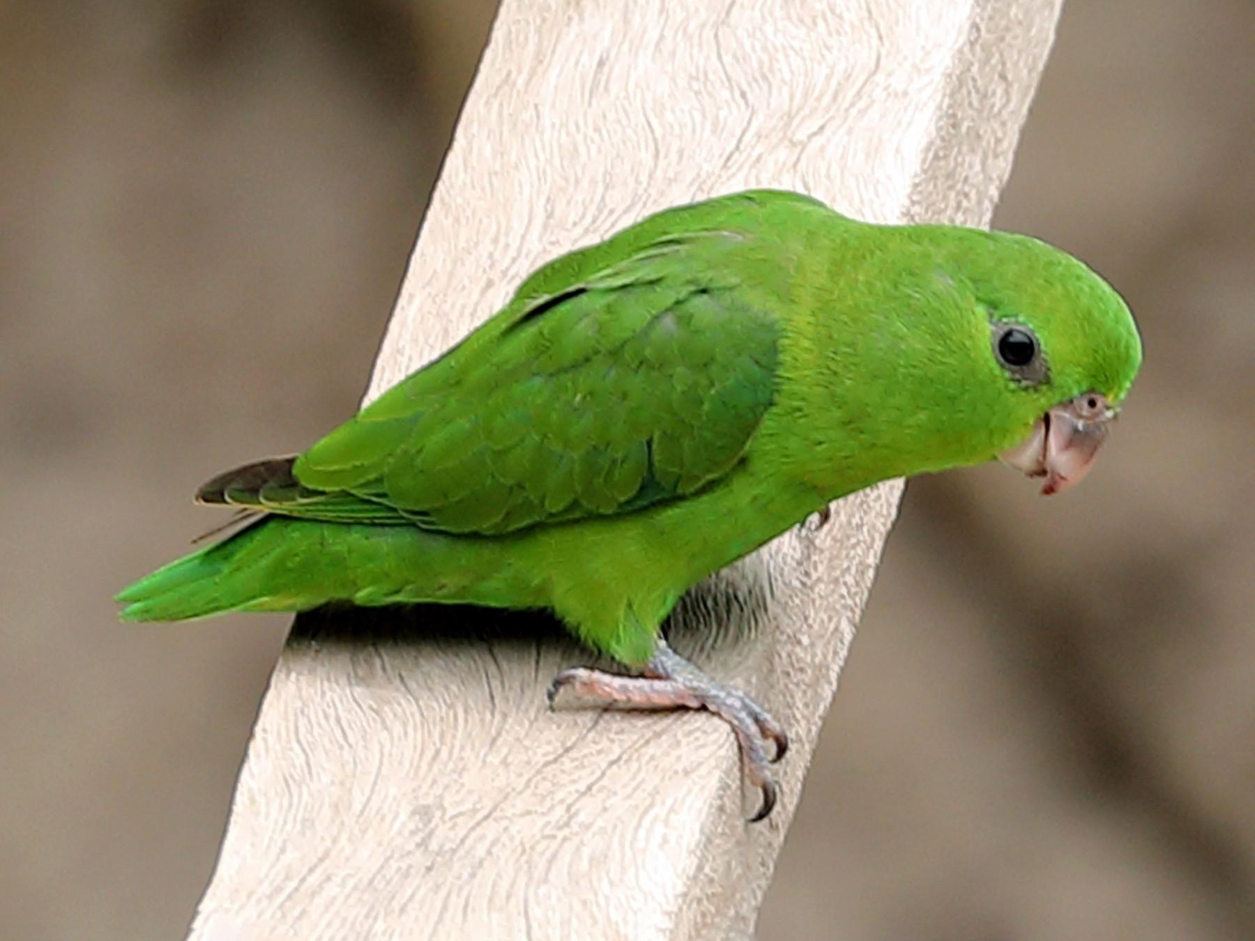 Dusky-billed Parrotlet - Ly Lan Le Do