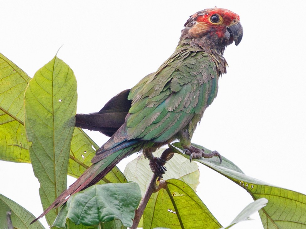 Rose-fronted Parakeet - Silvia Faustino Linhares