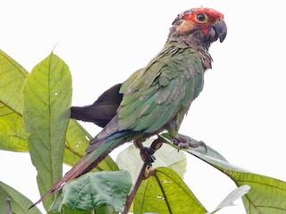 - Rose-fronted Parakeet