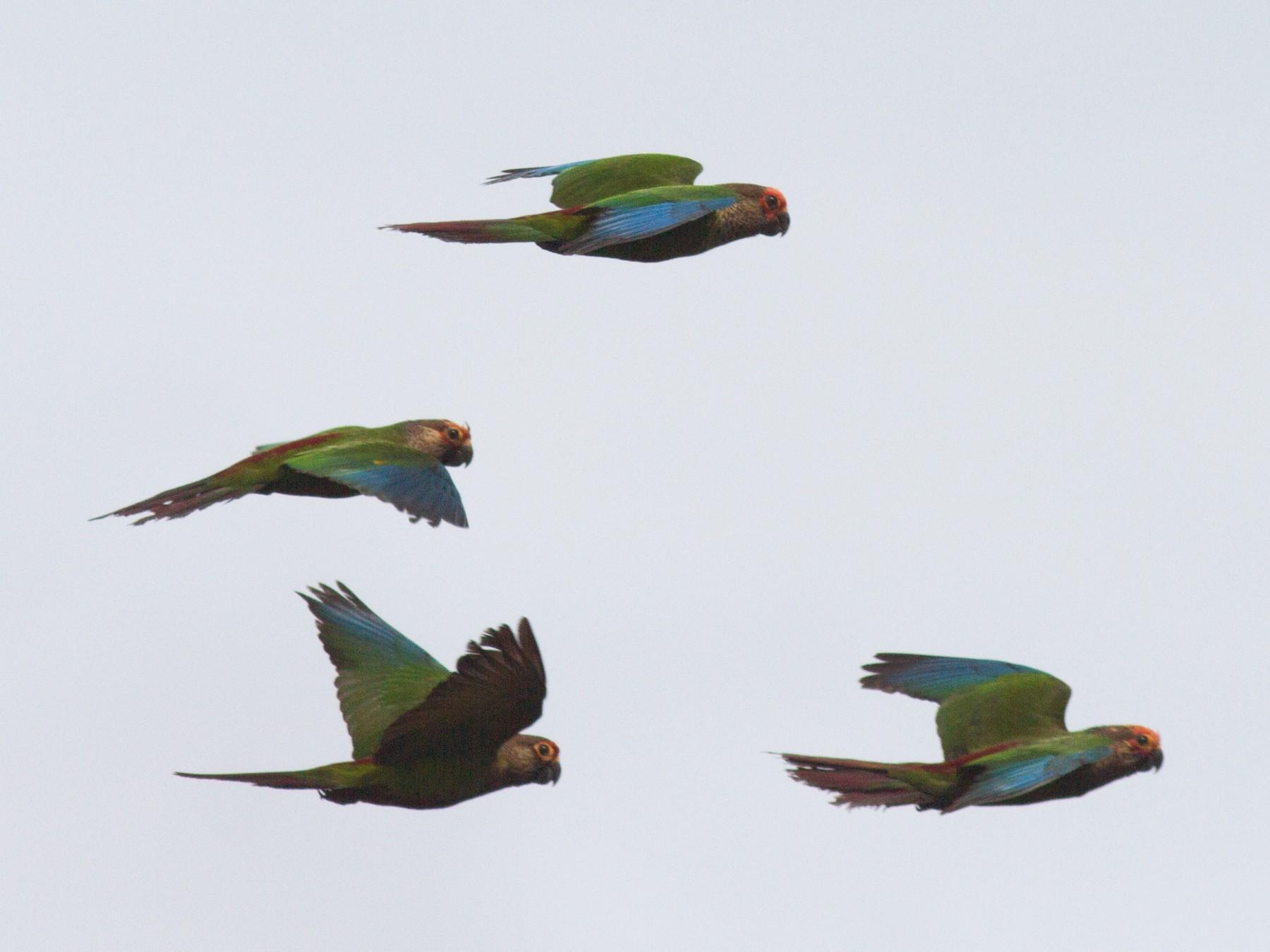 Rose-fronted Parakeet - Justyn Stahl
