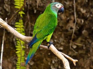 - Dusky-headed Parakeet