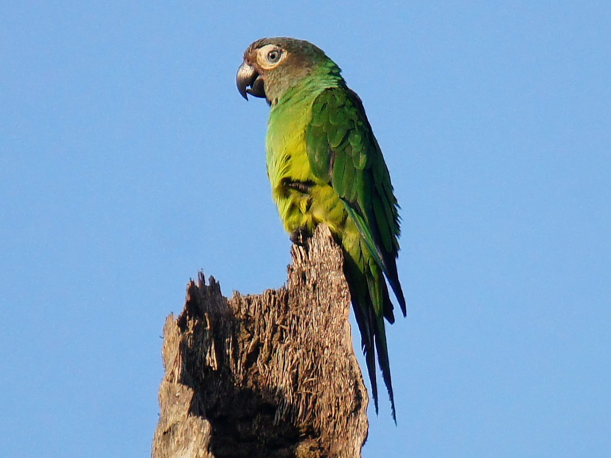 Dusky-headed Parakeet - Doris Guimond et Claude Gagnon