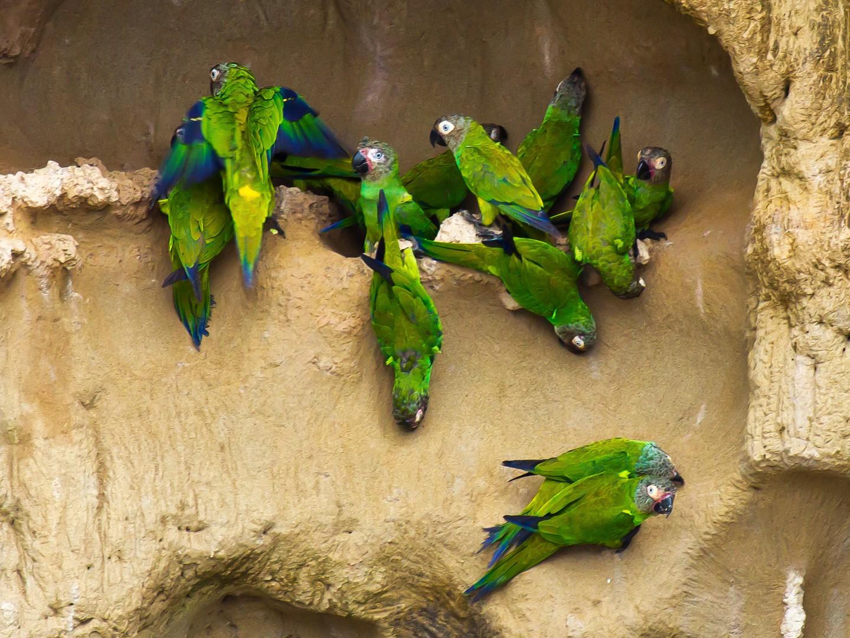 Dusky-headed Parakeet - graichen & recer