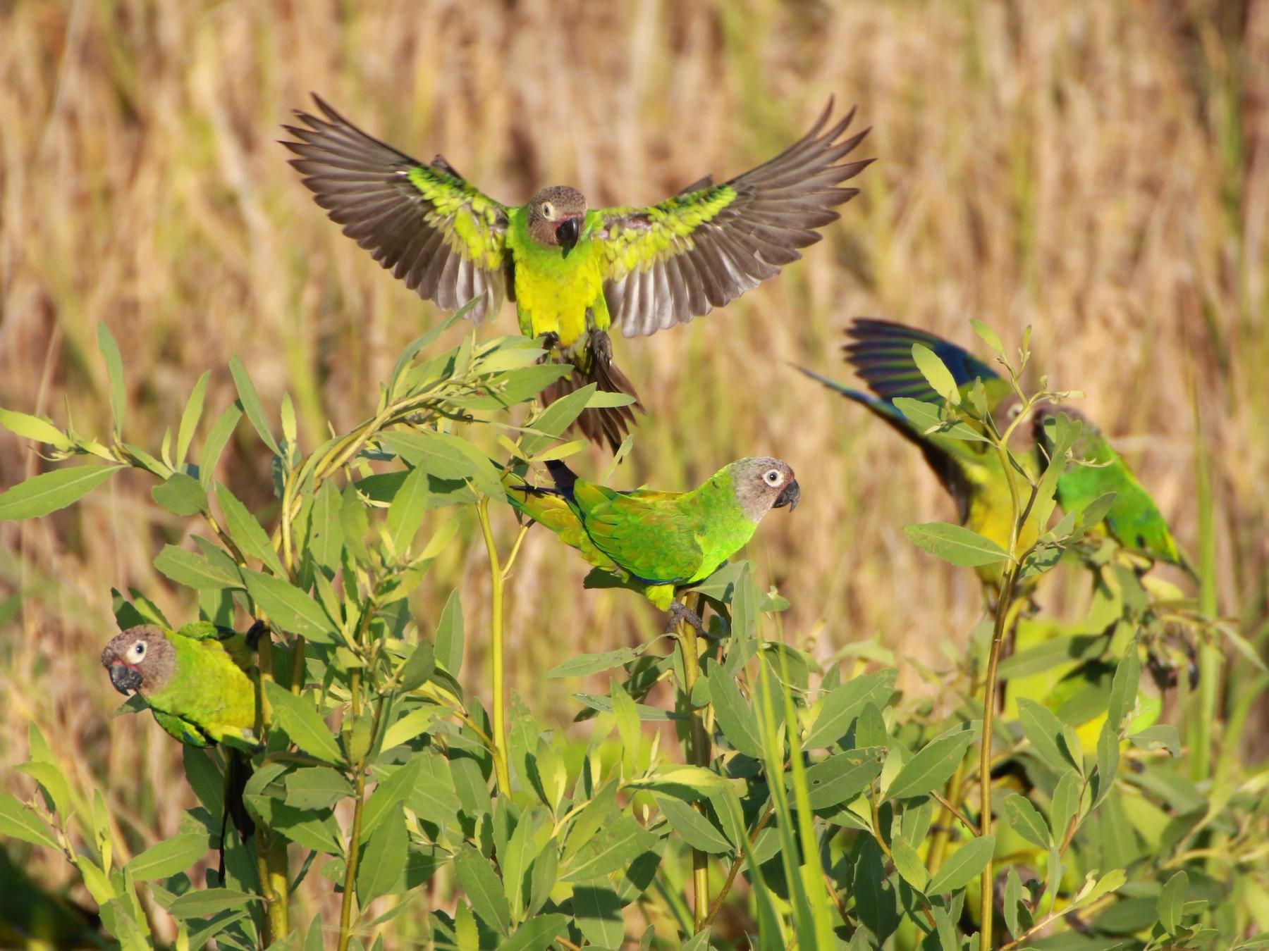 Dusky-headed Parakeet - Jose Luis Lescano Perez Pacheco