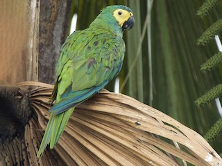- Red-bellied Macaw