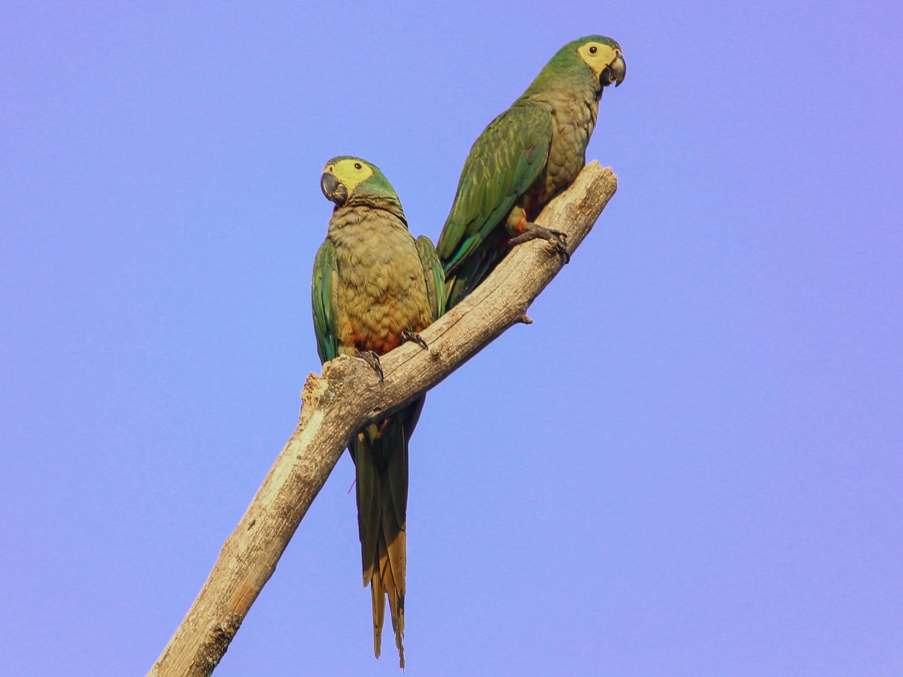 Red-bellied Macaw - João Souza