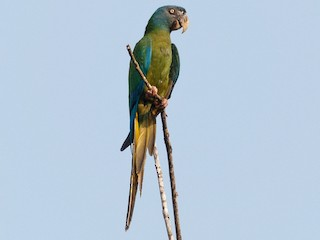 - Blue-headed Macaw