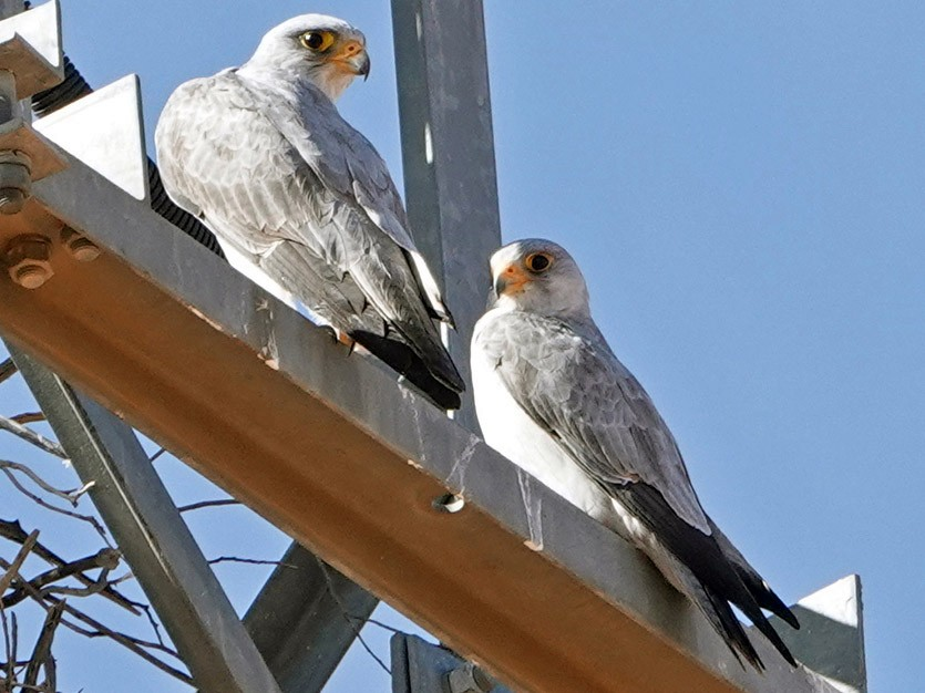 Gray Falcon - Roksana and Terry