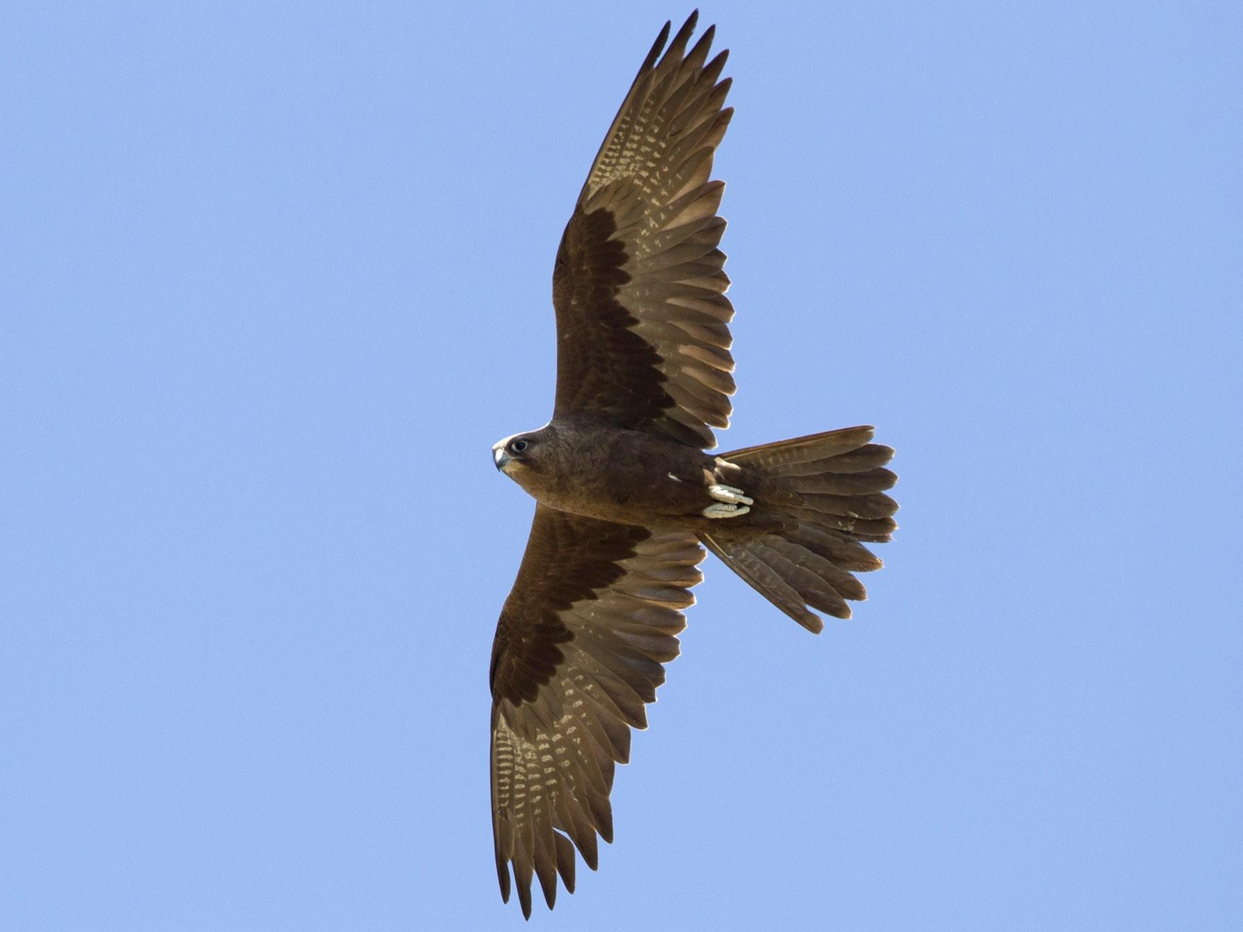 Black Falcon - Brian Sullivan