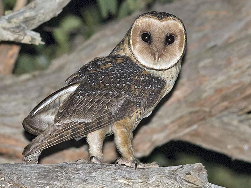 Australian Masked-Owl - Tim Bawden