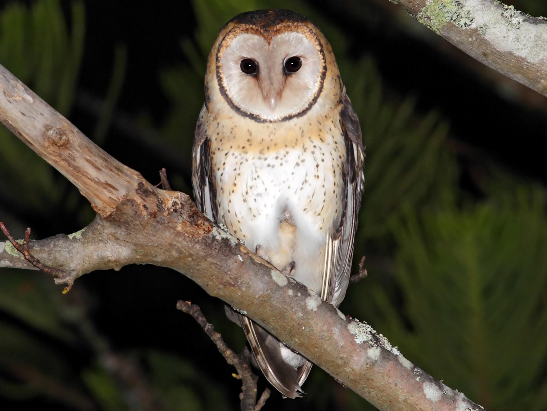 Australian Masked-Owl - Rohan Clarke