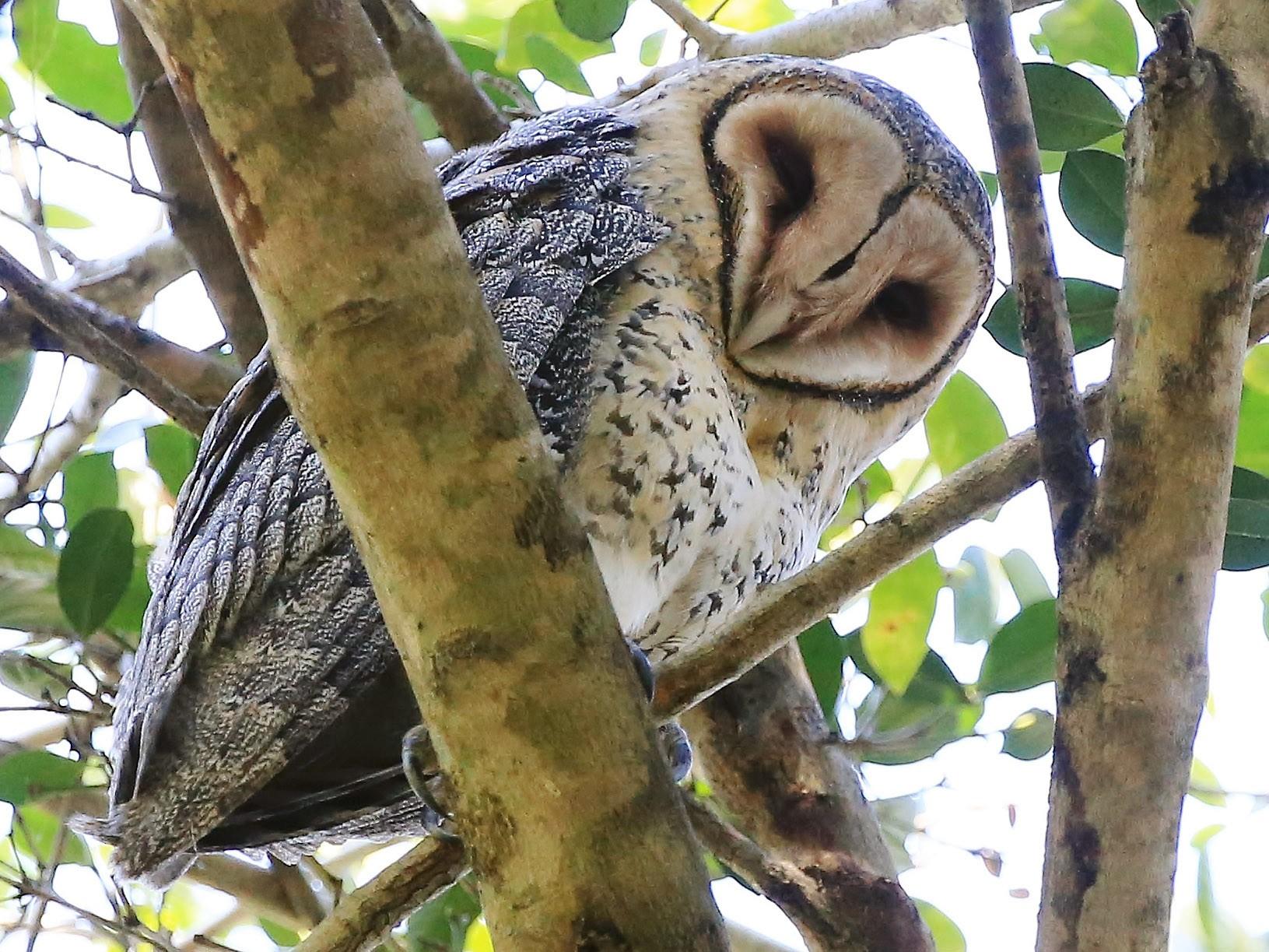Australian Masked-Owl - Rick Franks