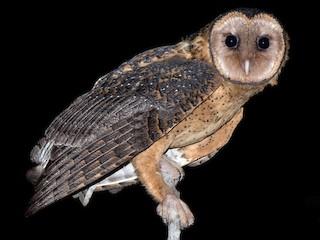 - Australian Masked-Owl